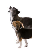 Two dogs looking up. Two cute dogs looking up at their boss Stock Photos