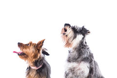 Two dogs looking up into the air Stock Photos