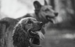 Two dogs looking up. Black and white picture royalty free stock photography