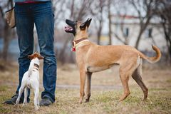 Two dogs looking up at the man Royalty Free Stock Photography