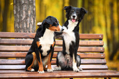 Two dogs in love in autumn park Stock Photos