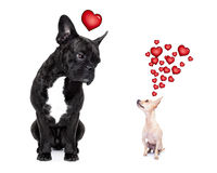 Two dogs in love Royalty Free Stock Photography
