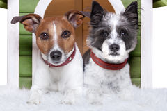 Two dogs in love Stock Images