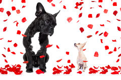 Two dogs in love on valentines day Stock Images
