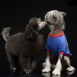 Two dogs loves each other in a dark studio. Two dogs loves each other in  dark studio Royalty Free Stock Images