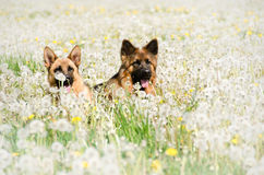 Two dogs. Lying on the dandelion meadow stock image