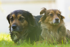 Two dogs lying in the grass. Portrait of two dogs, one black and other brown lying in the grass Stock Images