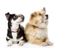 Two dogs lying together. Stock Images