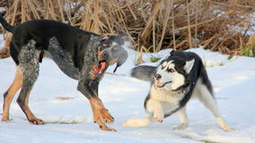 Two Dogs Make a Show (Siberian Husky Puppy) Stock Image