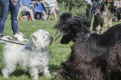 Two Dogs meet in park Royalty Free Stock Images