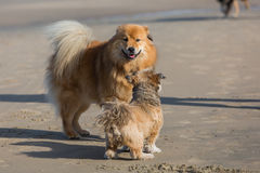 Two dogs meeting at the beach Royalty Free Stock Image
