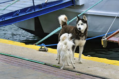 Two dogs are meeting in the port stock image