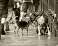 Two Dogs Meeting on a Street Royalty Free Stock Photo