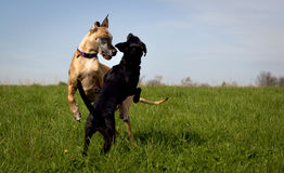 Two dogs in mid play Royalty Free Stock Image