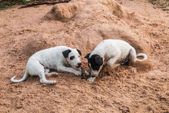 Two dogs. Two mixed breed playing together in sand Stock Photo