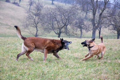 Two dogs in motion. Royalty Free Stock Photography