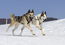 Two dogs in the mountain. Active dogs in the snow Stock Photos
