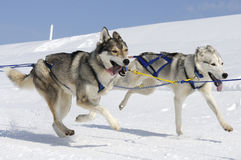 Two dogs in the mountain. Active dogs in the snow Stock Photo