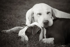 Two dogs napping Royalty Free Stock Photo