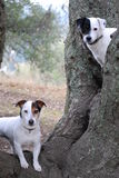 Two dogs exploring in nature. Two Jack Russell's with brown and black markings exploring nature off leash with big old oak trees and dry grassy fields Stock Image