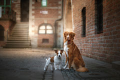 Two dogs in old town. Two dogs Nova Scotia duck tolling Retriever and Jack Russell Terrier in the old town Royalty Free Stock Images