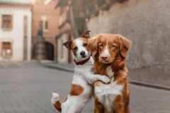 Two dogs in old town. Two dogs Nova Scotia duck tolling Retriever and Jack Russell Terrier in the old town royalty free stock image