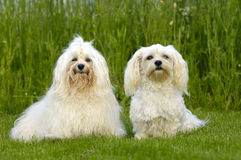 Two Dogs On Grass Royalty Free Stock Image