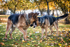 Two Dogs One Stick Royalty Free Stock Images