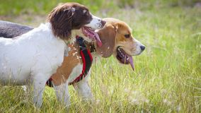 Free Two Dogs Out For A Walk Panting Royalty Free Stock Image - 161305686