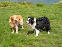 Two dogs outdoors in a green meadow. Two dogs outdoors a golden retriever and a Border collie in a green meadow stock photos