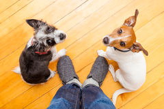 Two dogs and ower at home Royalty Free Stock Photos