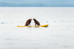 Two dogs on a paddle board. Two large brown dogs sitting on a paddle board stock photo