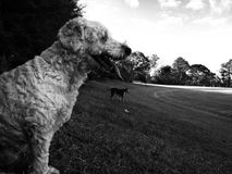 Two dogs in the park Royalty Free Stock Images
