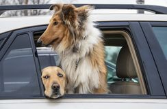 Two dogs in parked car - beautiful elegant collie looking out at world and golden lab peaking out with scared eyes.  royalty free stock photo