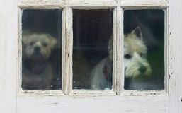 Free Two Dogs Peering Out Old Door In The Rain Royalty Free Stock Photos - 111258998