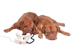 Two dogs on the phone Royalty Free Stock Photography