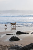 Two dogs play in a beach Royalty Free Stock Photography