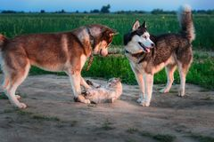 Two dogs play with cat on the walk. Siberian husky caught up cat and touch it with his paws. Cat angrily hisses and scratches. Two dogs play with cat on the stock photos