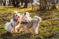 Two dogs play with each other in the park stock photography