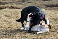 Two dogs play fighting. Black labrador and beagle dog play fighting outdoors Royalty Free Stock Images