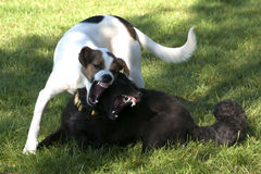 Two dogs play fighting royalty free stock photography
