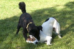 Two dogs play fighting. Black and white dog play fighting outdoor Stock Images