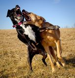 Two dogs play fighting. In a field with teeth bared and looking vicious royalty free stock images