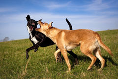 Two dogs play fighting in grassy field. Two dogs ferociously play fighting for dominance with fangs exposed in green field stock photo