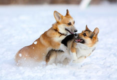 Two dogs play fun winter outdoors in the snow Royalty Free Stock Images