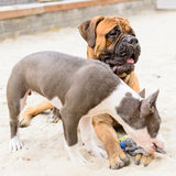 Two dogs play Royalty Free Stock Images