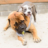Two dogs play Royalty Free Stock Photography