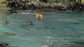 Two dogs play at the seashore stock footage