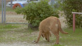 Two dogs play slow motion video stock video footage