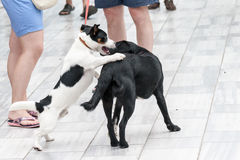 Two dogs play on the street Royalty Free Stock Images